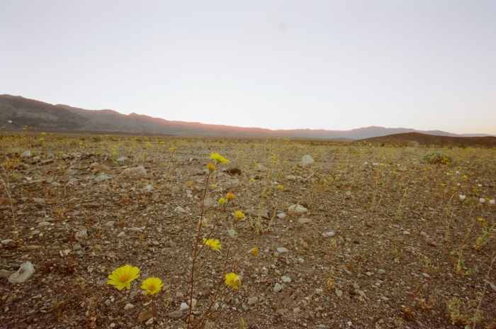 death valley super bloom 2016 nicole calwell 07