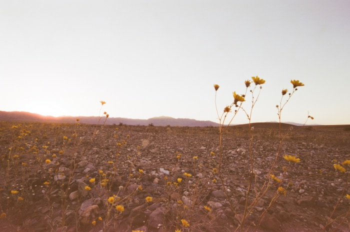 death valley super bloom 2016 nicole calwell 17