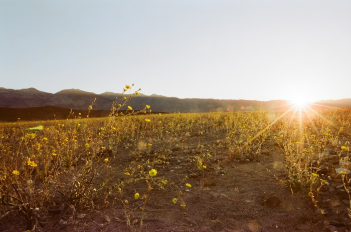 death valley super bloom 2016 nicole calwell 18
